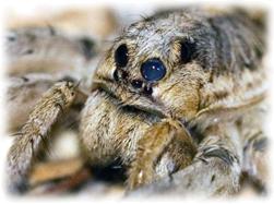 Wolf Spider 4